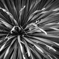 Dasylirion Texanum at Lady Bird Johnson Wildflower Center