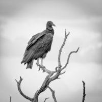 Old Baldy Buzzard - Black and White Photograph by Matt Mikulla
