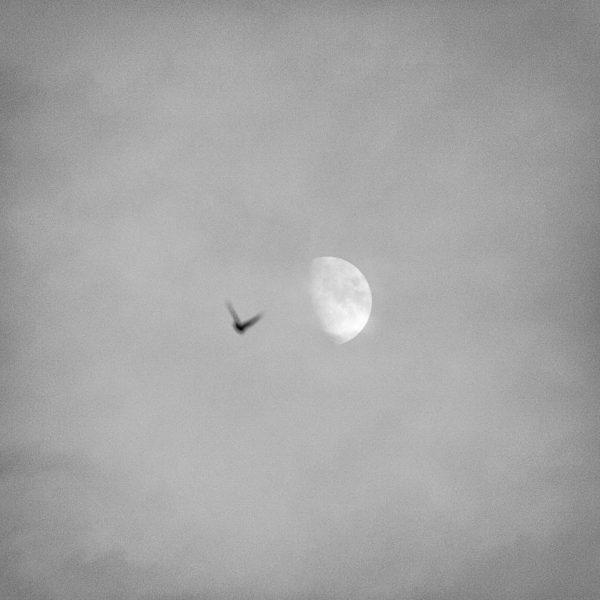 Ascend - A photo of a bird rising towards the moon
